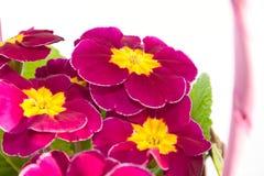 Der primorse Blumenstrauß in der Korbnahaufnahme Lizenzfreie Stockfotos