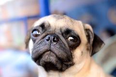Der Pug Lizenzfreie Stockbilder