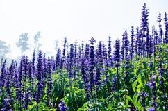 Der purpurrote Lavendel in Garten Phu Tabberk stockfotografie