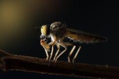 Der Räuberfliegenabschluß oben in Thailand stockbild