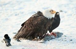 Der Rabe und der Weißkopfseeadler Stockfoto