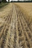 Der Rand des Feldes mit der gereiften Kornernte, mit einem abgeschrägten Roggen oder einer Gerste, zur Sicherheit beabsichtigt vo Lizenzfreie Stockfotografie