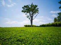 Der Rasen mit grünem Baum im Frühjahr Lizenzfreie Stockfotos