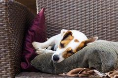 Der rassische Steckfassungsrussell-Terrier liegt bequem auf den Sesselauflagen lizenzfreie stockfotos