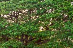 Der Regen-Baum bei Sonnenuntergang Lizenzfreies Stockbild