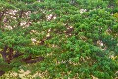 Der Regen-Baum bei Sonnenuntergang Stockfoto