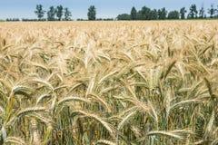 Der Reichtum der Natur, gesunder Weizen in der Sonne Stockfotos