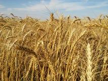 Der reife Weizen Lizenzfreies Stockfoto