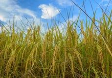 Der Reis lizenzfreies stockbild