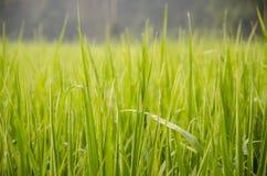 Der Reis lizenzfreie stockbilder