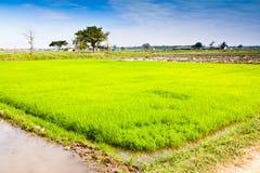 In der Reisbearbeitung. Stockfotografie