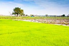 In der Reisbearbeitung. Stockfotos