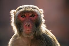 Der Rhesusfaktor Macaqueaffe Lizenzfreie Stockfotos