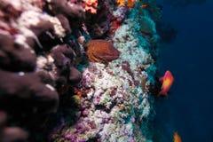 Der riesige Moray und die roten Fische Lizenzfreie Stockfotos
