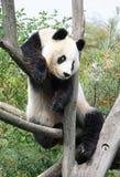 Der riesige Panda Lizenzfreie Stockfotografie