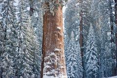 Der riesiger Mammutbaum-Baum abgedeckt im Schnee lizenzfreies stockbild