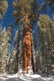 Der riesiger Mammutbaum-Baum abgedeckt im Schnee Lizenzfreie Stockbilder