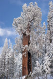 Der riesiger Mammutbaum-Baum abgedeckt im Schnee Stockfotografie