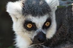 Der Ring-tailed Lemur Lizenzfreie Stockfotografie