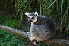 Der Ring-tailed Lemur Stockbilder