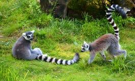 Der Ring-tailed Lemur Lizenzfreies Stockfoto