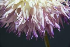 Der Rock der Dahlienblume Lizenzfreies Stockfoto