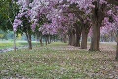 Der romantische Tunnel von rosa Blumenbäumen lizenzfreies stockfoto