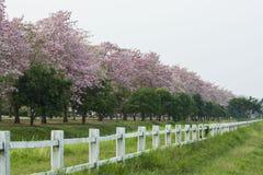 Der romantische Tunnel von rosa Blumenbäumen lizenzfreie stockfotografie