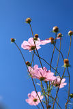 Der rosa Calliopsis Lizenzfreies Stockfoto