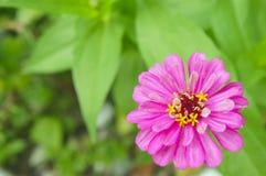 Der rosa Gerbera auf einem grünen Hintergrund Lizenzfreie Stockfotos
