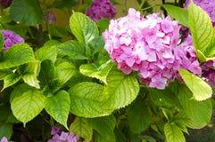 Der rosa Hortensiaabschluß oben stockbild