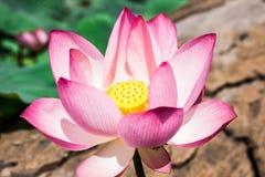 Der rosa Lotos im Lotosteich auf Barkenhintergrund Lizenzfreies Stockbild