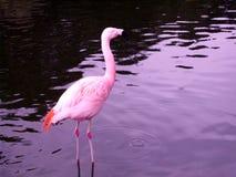 Der rosafarbene Flamingo Stockfoto