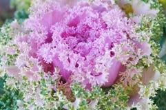 Der rosafarbene Kohl Stockfotos