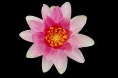 Der rosafarbene Lotos Stockbild