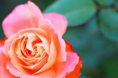 Der Rose Majorette Lizenzfreie Stockbilder
