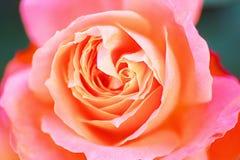 Der Rose Majorette Lizenzfreies Stockbild