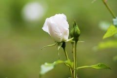 Der Rosebud in der Sonnennahaufnahme Stockbild