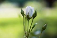 Der Rosebud in der Sonnennahaufnahme Lizenzfreie Stockbilder