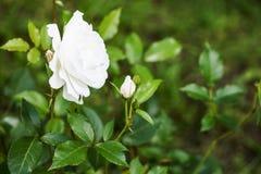 Der Rosebud in der Sonnennahaufnahme Lizenzfreie Stockfotos