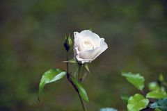 Der Rosebud in der Sonnennahaufnahme Lizenzfreies Stockfoto