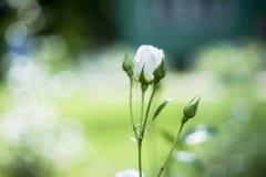 Der Rosebud in der Sonnennahaufnahme Lizenzfreie Stockfotografie