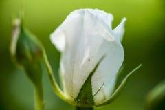 Der Rosebud in der Sonnennahaufnahme Stockfotografie