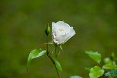 Der Rosebud in der Sonnennahaufnahme Lizenzfreies Stockbild