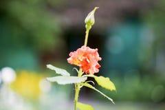 Der Rosebud in der Sonnennahaufnahme Stockfoto