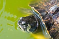 Der rot-ohrige Schieber, nahe Ansicht, schwimmend in seinem Lebensraum stockfotos