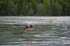 Der rote Adler verbreitet seine Flügel und die Fliegen, die über dem Wasser niedrig sind, anhebend spritzt lizenzfreie stockfotos