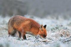 Der rote Fuchs, der nach Lebensmittel auf einem Frost sucht, setzte Forderung durch Stockfoto