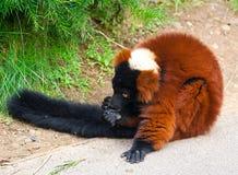 Der rote getrumpfte Lemur (Varecia rubra) Lizenzfreie Stockfotos