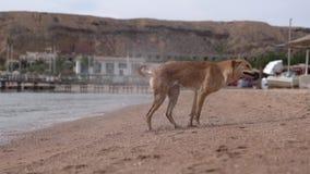 Der rote Hund rüttelt seinen Körper, um in der Zeitlupe trocken zu werden stock video